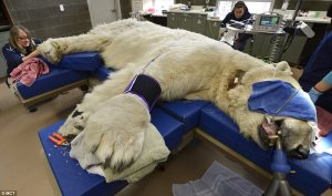 boris the polar bear root canal2284791-184A0070000005DC-599_964x571