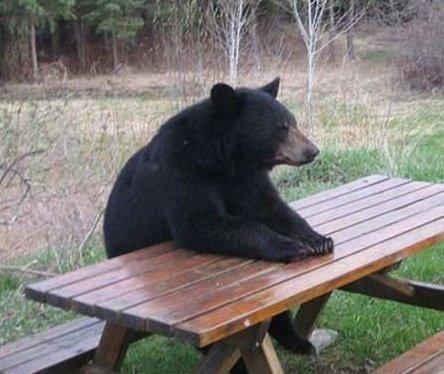 picnic bear