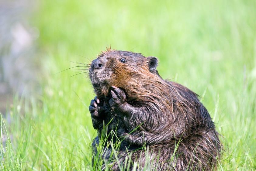 beaver-1448390_960_720